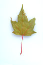 Gray leaf of fall maple tree s with many color in early Royalty Free Stock Image