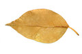 Gray leaf with veins over white background Royalty Free Stock Image