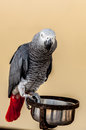 Gray macaw with red tail Royalty Free Stock Photo