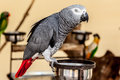 Gray macaw with red tail on bowl Stock Image