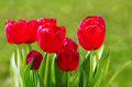 Gray massage stones red tulips in the spring garden Royalty Free Stock Photography