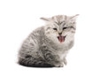 Gray mewing kitty lolling tongue out isolated on white background Royalty Free Stock Images