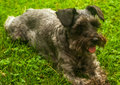 Gray miniauture schnauzer lying in grass Royalty Free Stock Photo