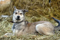 Gray mongrel dog lying on dry hay Royalty Free Stock Images