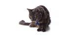 Gray nebelung cat stalking Imagem de Stock