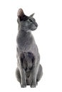Gray oriental cat Royalty Free Stock Photos