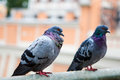 Gray pigeons. Royalty Free Stock Photo