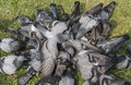 The gray pigeons are eating on grass in park Royalty Free Stock Photo