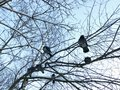 Gray pigeons on a tree in the winter morning Royalty Free Stock Photo