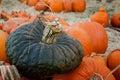 Gray pumpkin in einem kürbis flecken Lizenzfreie Stockfotografie