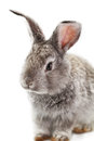 Gray rabbit bunny isolated on white background Stock Images