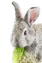 Gray rabbit bunny isolated on white background Royalty Free Stock Photography