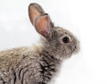 Gray rabbit bunny isolated on white background Stock Photography