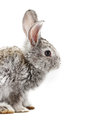 Gray rabbit bunny isolated on white background Royalty Free Stock Image