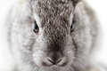 Gray rabbit bunny isolated on white background Stock Photos