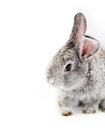 Gray rabbit bunny isolated on white background Royalty Free Stock Images