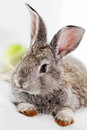 Gray rabbit bunny on white background Stock Image