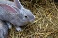 Gray Rabbit on Dry Grass Royalty Free Stock Photos