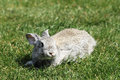 Gray rabbit in grass close up Royalty Free Stock Image