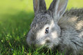 Gray rabbit in grass close up Stock Photography