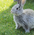 Gray rabbit in grass close up Royalty Free Stock Photo