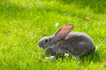 Gray rabbit in green grass young domestic Stock Photography