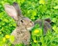 Gray rabbit lay on the grass farm theme Stock Image