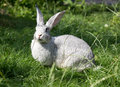 Gray rabbit sitting in the grass adult Royalty Free Stock Images
