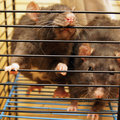 Gray rats Stock Images