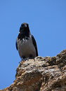 Gray raven sitting on rock over blue sky Royalty Free Stock Image