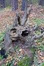 Old root of a fallen tree in an autumn forest Royalty Free Stock Photo