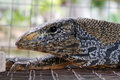 Gray s monitor lizard close up portrait detail nice bokeh background Royalty Free Stock Photos
