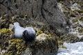 Gray seal Royalty Free Stock Photo