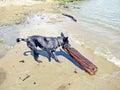 Gray shepherd pulling a log in the beach Stock Photo