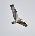 Gray sky osprey with a nice large trout or steelhead that it just caught Stock Photography