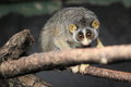 Gray slender loris on the branch Stock Images