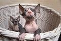 Gray sphynx kittens inside ein korb der oben schaut Lizenzfreie Stockfotografie