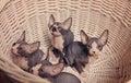 Gray sphynx kittens inside en korg som ser upp Arkivbild