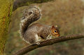 Gray Squirrel Royalty Free Stock Photo