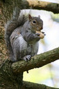 Gray Squirrel Royalty Free Stock Photography