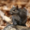 Gray squirrel closeup of eastern on log Stock Photography