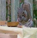A gray squirrel eating at a backyard wooden picnic table Royalty Free Stock Photo
