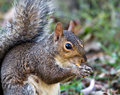 Gray Squirrel Eating Fry Royalty Free Stock Images
