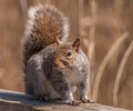 Gray squirrel a grey perched on a wood fence Royalty Free Stock Photo