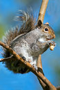 Gray squirrel oriental Photographie stock
