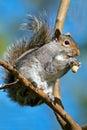 Gray squirrel oriental Photographie stock