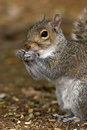 Gray Squirrel Portrait Royalty Free Stock Photo