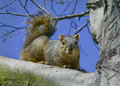 Gray squirrel on tree branch Royalty Free Stock Photo