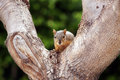 Gray Squirrel Tree Staring Royalty Free Stock Photos