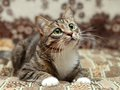 Gray stripe cat lying on carpet with green eyes Royalty Free Stock Images